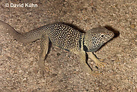 0612-1018  Male in Defensive Posture, Great Basin Collared Lizard (Mojave Black-collared Lizard), Crotaphytus bicinctores  © David Kuhn/Dwight Kuhn Photography
