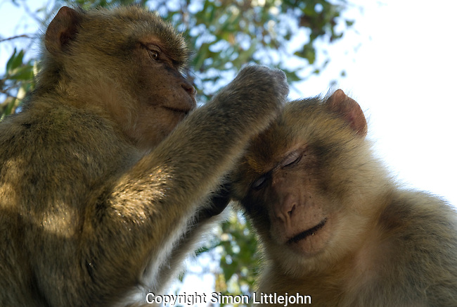 Barbary Macaque ( macaca sylvanus ) cleaning fur of it´s mate. Rock of Gibraltar.