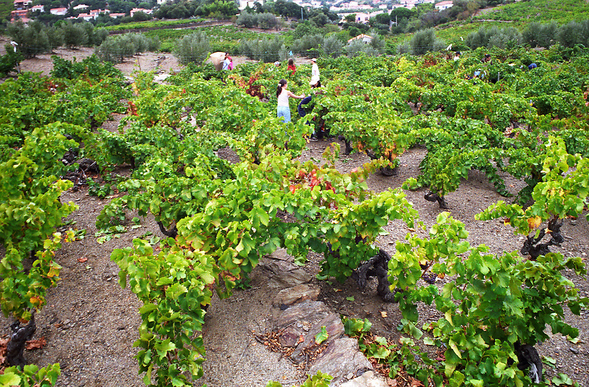 Grenache vines. Cave cooperative Cellier des Dominicains, Collioure. Collioure. Roussillon. Vines trained in Gobelet pruning. Vine leaves. France. Europe. Vineyard.