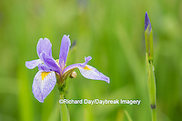 63899-05304 Blue Flag Iris (Iris versicolor) in wetland, Marion Co., IL