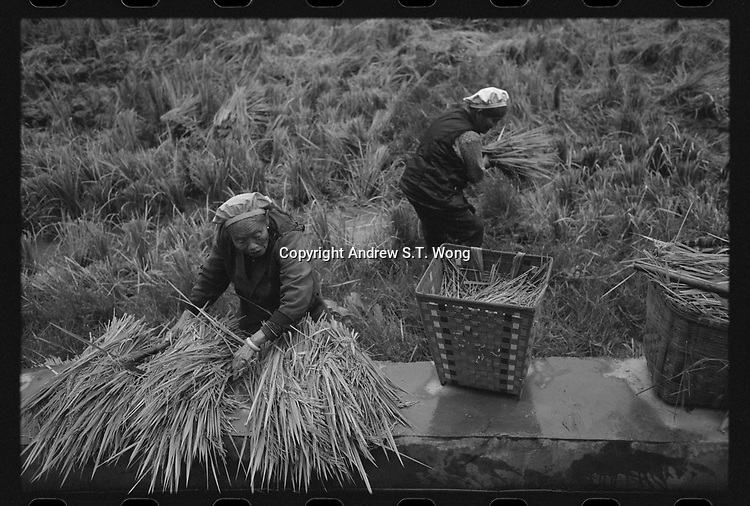 Octogenarian villagers collect haystacks at Xingyi, Guizhou Province, 2018.