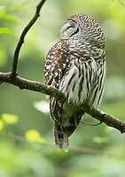 Two slits on either side of the the head lead into the owl's ear canal.  Normally these are hidden, but here a breeze blows the feathers from the opening of a Barred Owl's ears.