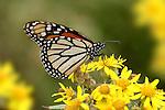Monarch Butterfly, Danaus plexippus, El Rosario Nature Reserve, feeding on flower, probiscus, lifecycle metamorphosis orange yellow flower pattern wing.Mexico....