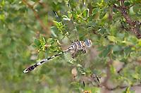389030028 a wild male gray sanddragon progomphus borealis perches in a small bush which is fairly rare for sanddragons at cienega creek natural preserve in pima county arizona