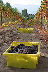 Wine grapes picked and ready for crushing. Benson Vineyards, Lake Chelan, Washington, USA