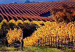 Grape Vineyards, San Luis Obispo, California