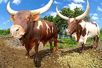 Texas longhorn steer bulls, The Big Island of Hawaii