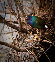 Purple Gallinule standing in the reeds beside the water in Florida Everglades