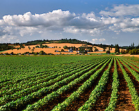 New rows of bush beans with wheat fields on hills in back in Yamhill County, Oregon