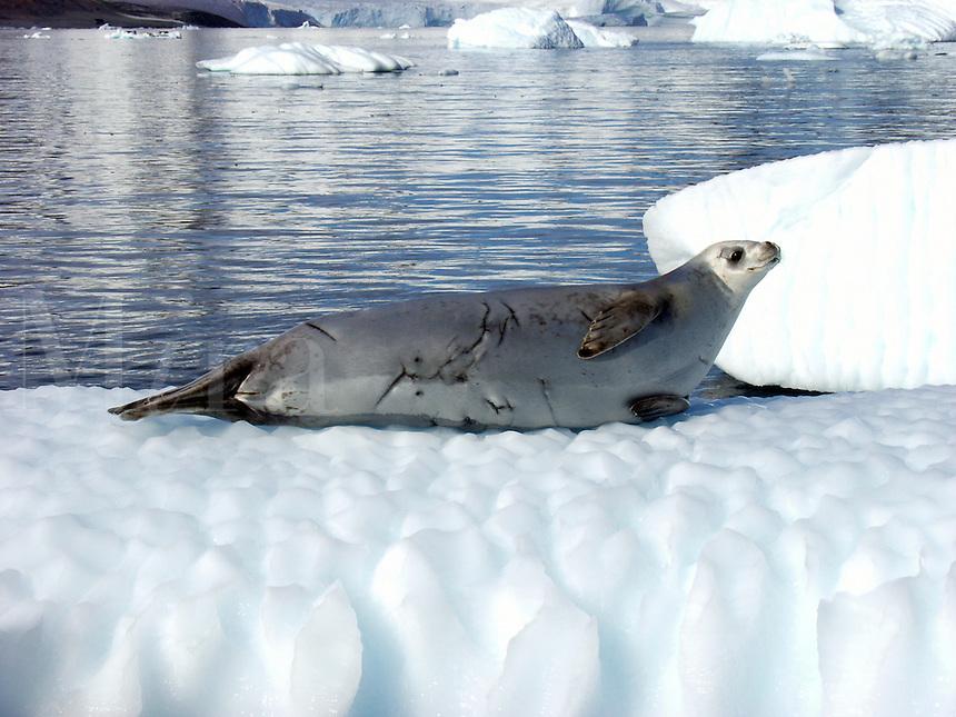 Crabeater seal (lobodon carcinophagus) on an iceberg in Paradise Harbor, Antarctica