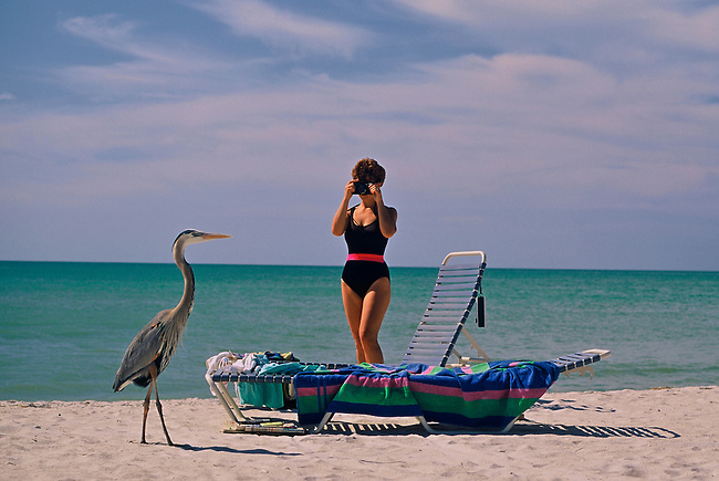 While on vacation, a young woman takes a photograph of a Great blue heron on the beach of Sanibel Island, near Fort Myers Beach, Florida.