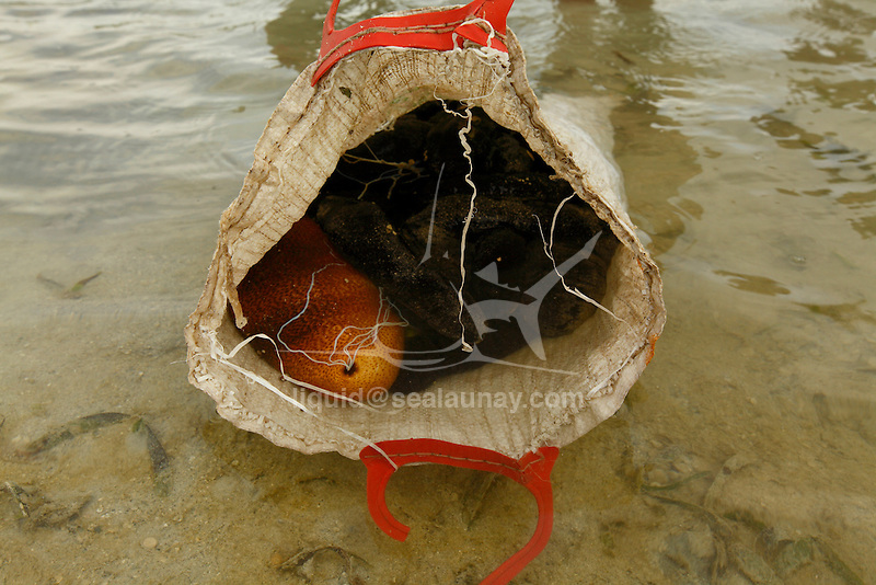 A bag of sea cucumbers just been collected in the village of Hessessai Bay at PanaTinai (Panatinane)island in the Louisiade Archipelago in Milne Bay Province, Papua New Guinea.  The island has an area of 78 km2..The Louisiade Archipelago is a string of ten larger volcanic islands frequently fringed by coral reefs, and 90 smaller coral islands located 200 km southeast of New Guinea, stretching over more than 160 km and spread over an ocean area of 26,000 km? between the Solomon Sea to the north and the Coral Sea to the south. The aggregate land area of the islands is about 1,790 km? (690 square miles), with Vanatinai (formerly Sudest or Tagula as named by European claimants on Western maps) being the largest..Sideia Island and Basilaki Island lie closest to New Guinea, while Misima, Vanatinai, and Rossel islands lie further east..The archipelago is divided into the Local Level Government (LLG) areas Louisiade Rural (western part, with Misima), and Yaleyamba (western part, with Rossell and Tagula islands. The LLG areas are part of Samarai-Murua District district of Milne Bay. The seat of the Louisiade Rural LLG is Bwagaoia on Misima Island, the population center of the archipelago.PanaTinai (Panatinane) is an island in the Louisiade Archipelago in Milne Bay Province, Papua New Guinea. The island has an area of 78 km2..The Louisiade Archipelago is a string of ten larger volcanic islands frequently fringed by coral reefs, and 90 smaller coral islands located 200 km southeast of New Guinea, stretching over more than 160 km and spread over an ocean area of 26,000 km? between the Solomon Sea to the north and the Coral Sea to the south. The aggregate land area of the islands is about 1,790 km? (690 square miles), with Vanatinai (formerly Sudest or Tagula as named by European claimants on Western maps) being the largest..Sideia Island and Basilaki Island lie closest to New Guinea, while Misima, Vanatinai, and Rossel islands lie further east..The archipelago is divided into t