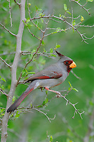 Adult male Pyrrhuloxia (Cardinalis sinuatus). Hidalgo County, Texas. March.