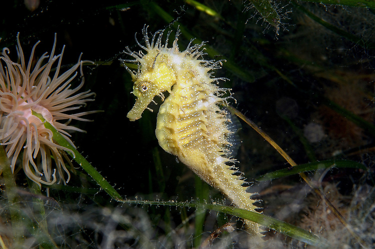 Male Long-snouted (or Spiny) Seahorse - Hippocampus guttulatus