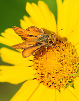 Male fiery skipper nectoring