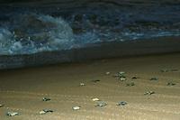 Loggerhead turtle hatchlings Caretta caretta heading towards the ocean for the first time, Praia do Forte, Bahia, Brazil South Atlantic