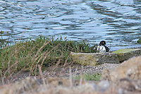 A male scaup, a diving duck, takes a break. in the background, a flood control channel feeding into San Francisco Bay.
