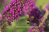 04005-00309 Snowberry Clearwing (Hemaris diffinis)  on Butterfly Bush (Buddleia davidii) Marion Co.  IL