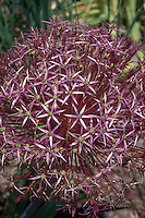 Allium christophii aka Allium albopilosum Stars of Bethlehem spring bulb early summer June flowers, purple starry flowers cluster