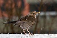 Amsel, Schwarzdrossel, Weibchen, Winter, Schnee, Turdus merula, Blackbird, female, Merle noir