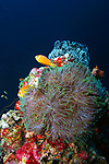 Blackfoot Anemonefish &Hosr Magnificent Anemone