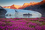 Scenic view of Portage Glacier with icebergs at dawn. Byron Peak glows in orange. Fireweed flowers in the foreground. Chugach National Forest, Kenai Peninsula, Southcentral Alaska, Summer.