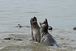 juvenile male elephant seals play
