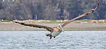 USA, California, Monterey,  Elkhorn Slough, brown pelican (Pelecanus occidentalis)