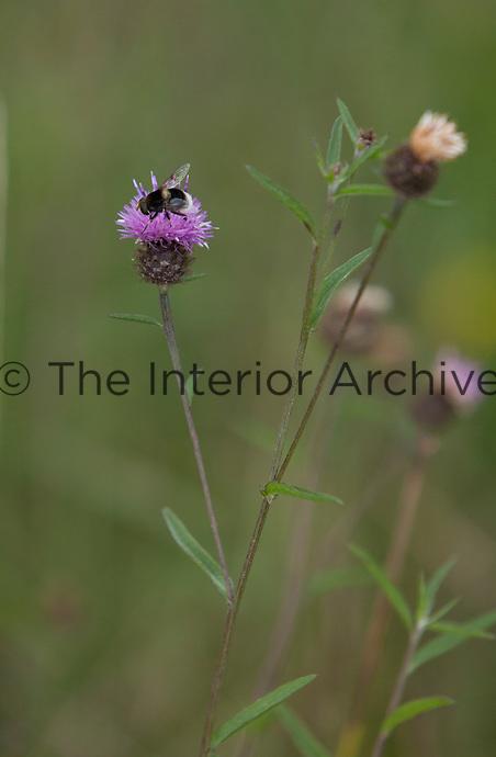 A bumblebee collects pollen from a centaurea nigra flower