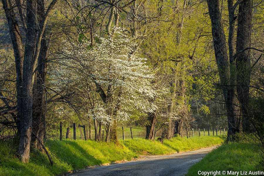 Great Smoky Mountains National Park, TN: Dogwood tree in bloom along country road in Cades Cove, early spring