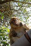 Adult Barbary Macaque enjoying the last mouthful of icecream it stole from a tourist. Rock of Gibraltar colony.