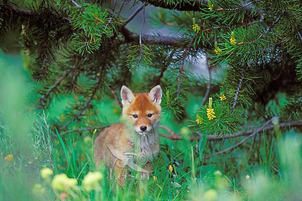Wild coyote pup stands under lodgepole pine tree.  Western U.S., June.