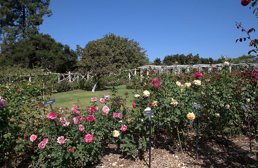 Rose Garden at Huntington Gardens, California, USA