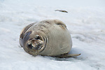 A Weddell Seal hauled out on the snow in Cierva Cove, Antarctica