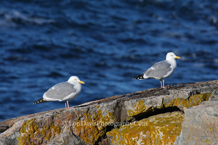 Two Gulls  #B57