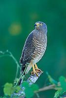 Roadside Hawk in Belize