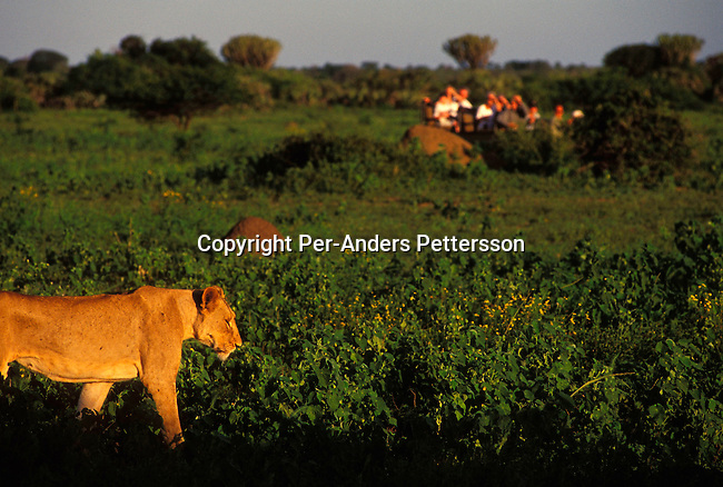 diwllio000116.Wildlife Lions. PHINDA, SOUTH AFRICA: A female lion walks along an open space looking for food as the sun sets on February 17, 2004 in Phinda, an exclusive private game reserve about three hours north of Durban, South Africa. Phinda is a popular attraction for international tourists visiting South Africa and is known for its involvement in the local communities around the park, where they run successful programs to educate the villagers about tourism and many of the people work at Phinda, some managing lodges and work as game rangers. They also have a ranger school that trains people to work on their game reserves..© Per-Anders Pettersson/iAfrika Photos