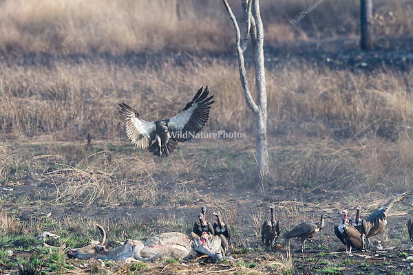 "A Critially endangered White-rumped Vulture joins other vultures (Sarcogyps calvus, Gyps bengalensis, Gyps tenuirostris) to feed on a dead cow at a ""vulture restaurant."" (Cambodia)"