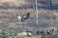 """A Critially endangered White-rumped Vulture joins other vultures (Sarcogyps calvus, Gyps bengalensis, Gyps tenuirostris) to feed on a dead cow at a """"vulture restaurant."""" (Cambodia)"""