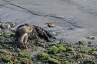 Southern Sea Otter (Enhydra lutris nereis) resting on beach.  CA.
