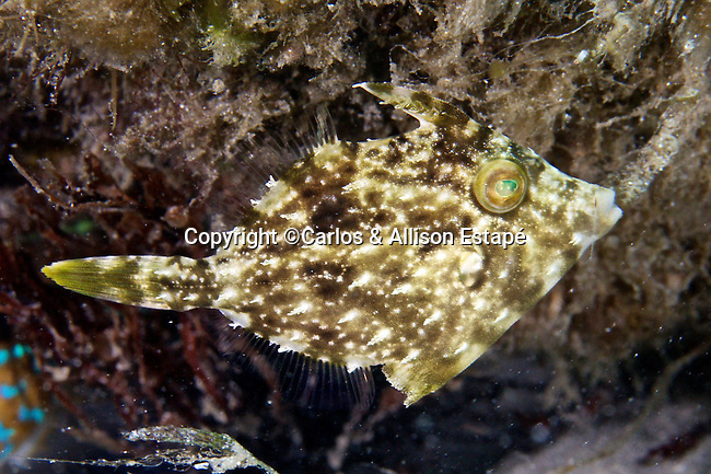 Stephanolepis hispida, Planehead filefish, Blue Heron Bridge, Florida