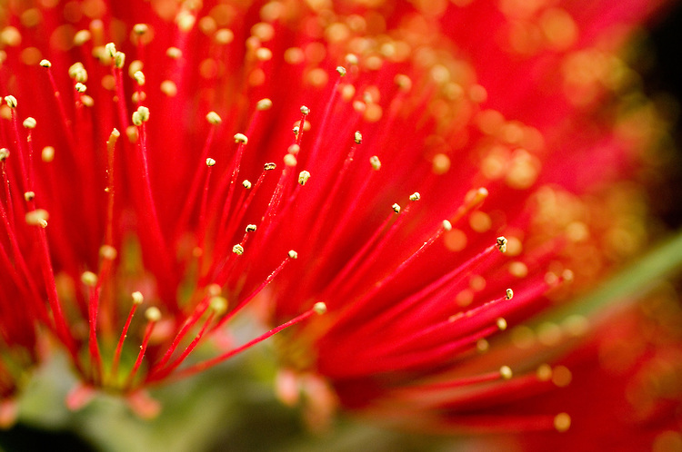 Pohutukawa Flower, close up, New Zealand - stock photo, canvas, fine art print