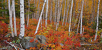 Split Rock Lighthouse State Park, MN: white birch (Betula papyrifera) forest in fall color