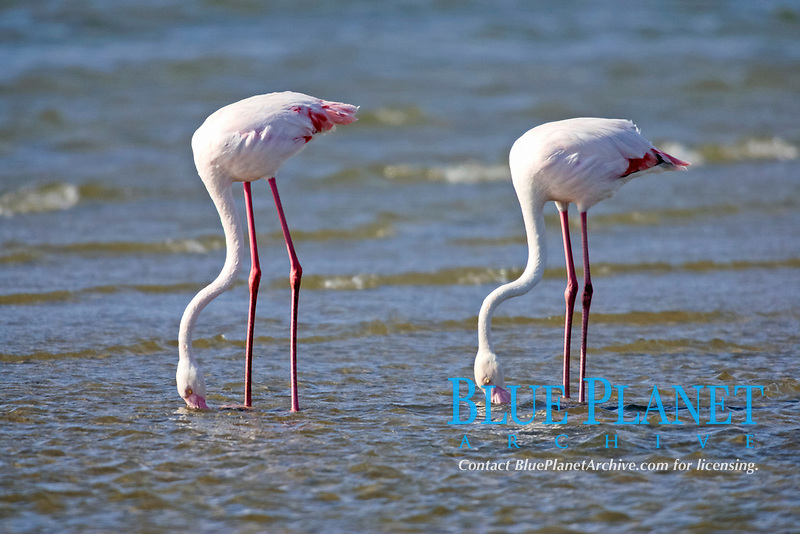 Pink Flamingoes (Phoenicopterus ruber roseus), adult, searching for food in water, Walvis Bay, Namibia, Africa
