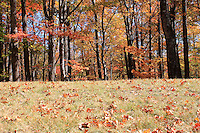 Stock photo - Autumn woods as seen from a low angle from grass with autumn leaves scattered on it, Blue Ridge mountains, Blue Ridge parkway, North Carolina, America.