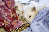 Two of Scott Smith's lead dogs rest under blankets at Takotna on Thursday morning