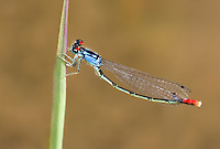 337850012 a wild adult male painted damsel hesperagrion heterodoxum perches on a water plant leaf on the membis river near royal john mine road grant county new mexico united states..GPS:N 32.73066.         W -107.86653