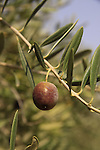Israel, Sea of Galilee, an olive in Tabgha