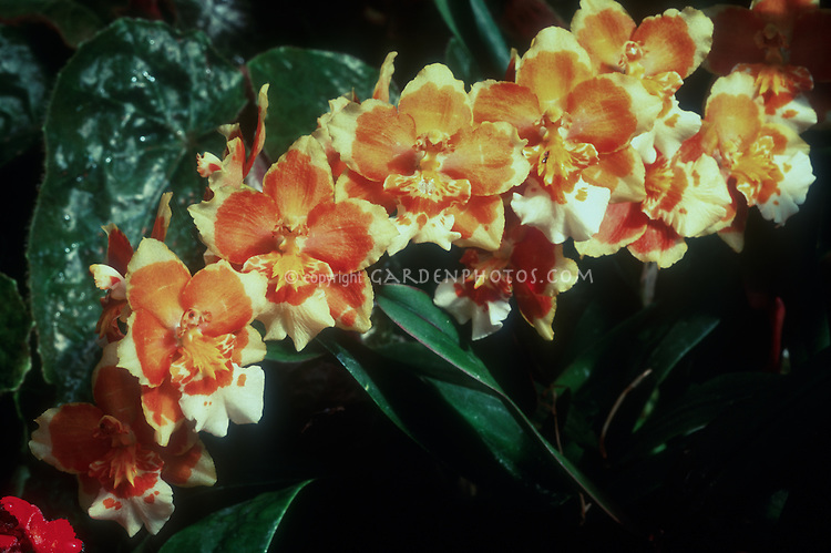 Wilsonara Eurydice = Oncidium Eurydice  (Jeanne Forter x Mackenzie Mountains) orchid hybrid