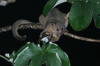 Kinkajou; Potos flavus; in Cecropia tree at night; Panama, Soberania NP;<br /> prehensile tail